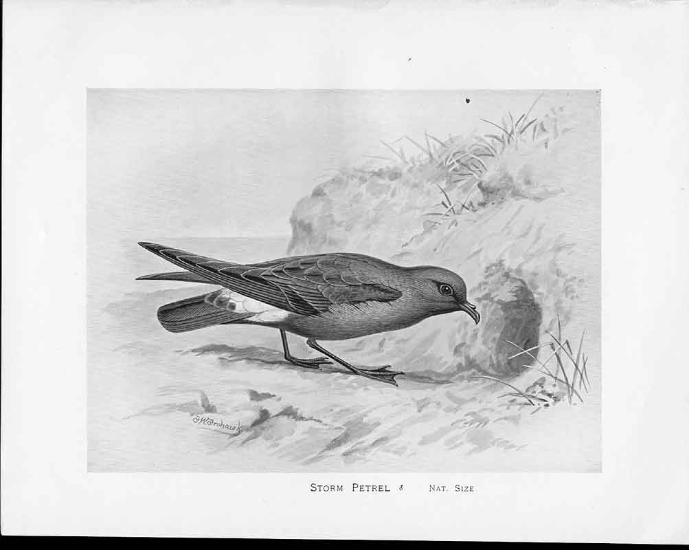 [Print C1898 Birds Frohawk Drawings Male Storm Petrel Hole Sand 8649A2A3 Old Original]