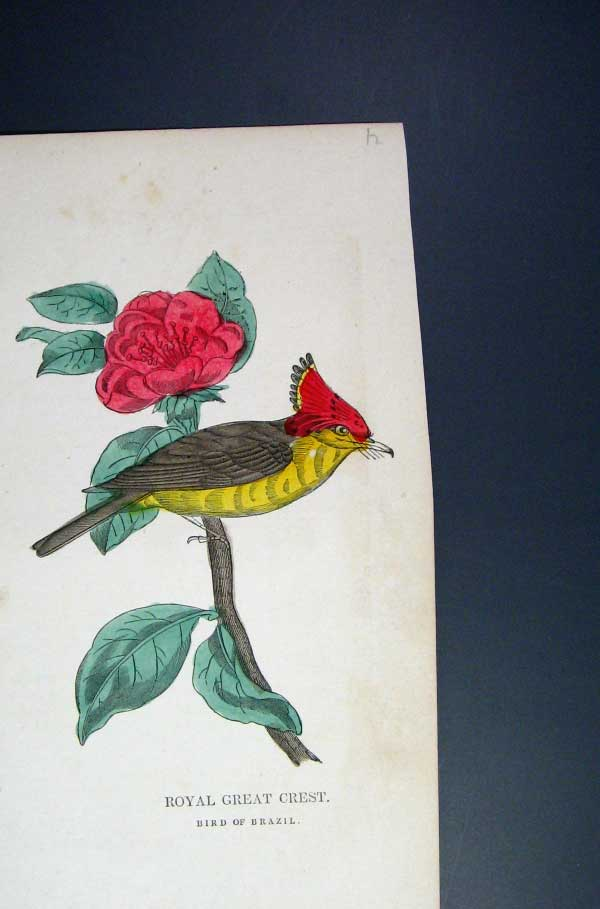 [Print Hand Coloured C1875 Royal Great Crest Bird Brazil 065551 Old Original]