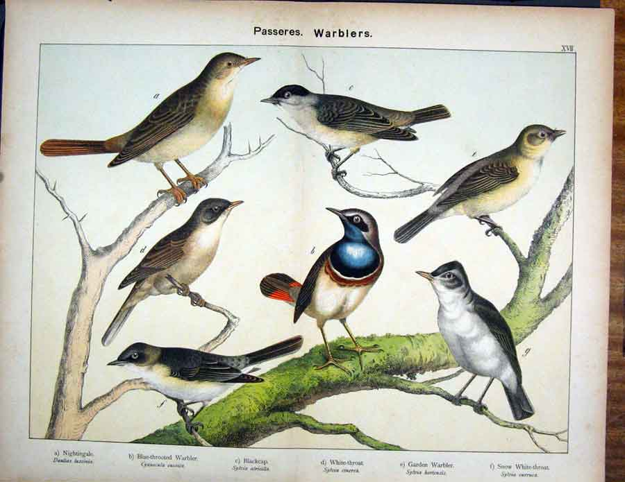 [Print Passeres Nightingale Garden Warbler Schubert 1889 485591 Old Original]