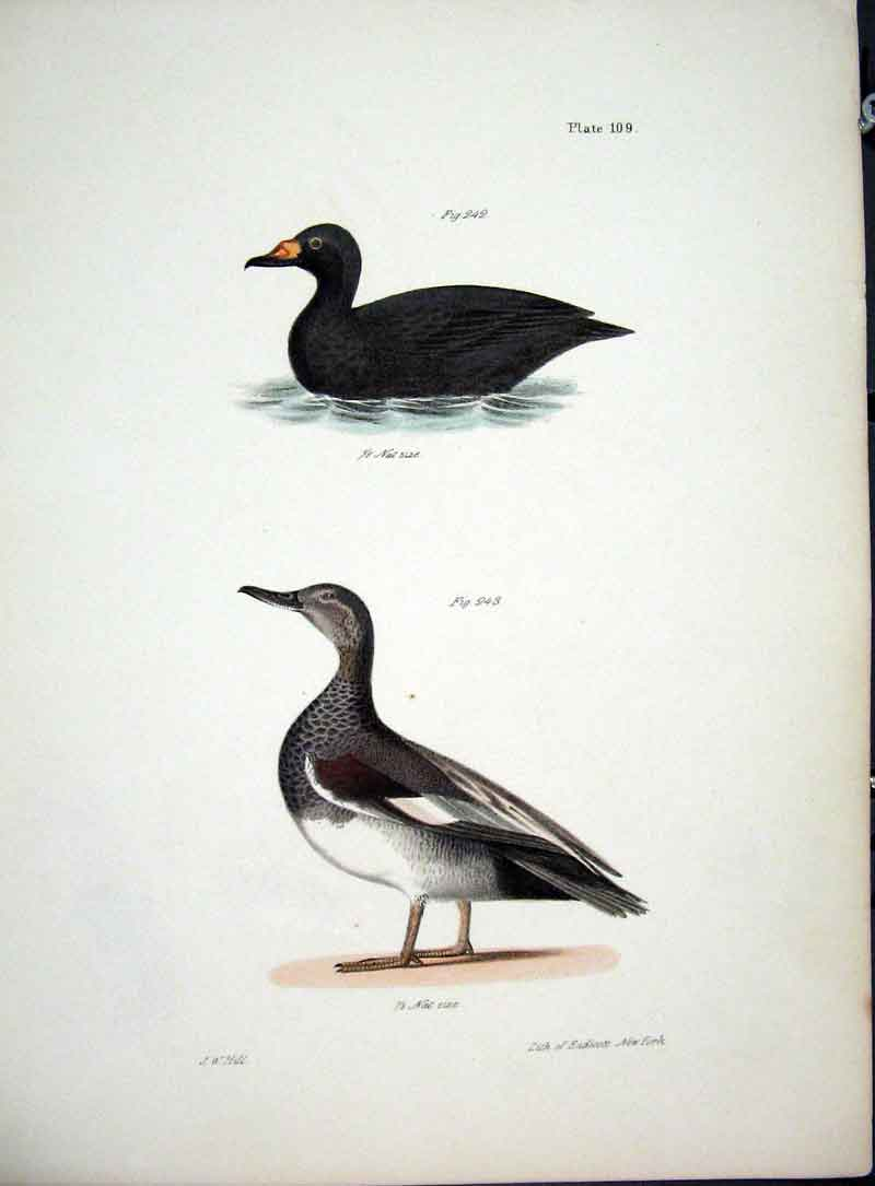 [Print Hill New York C1842 Plate 109 Water Birds 915611 Old Original]