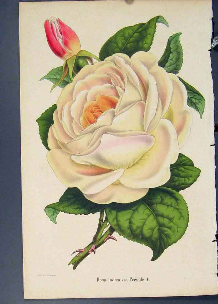 [Print Rose President Flora Fauna Flower Colour Fine Art 1855 325681 Old Original]