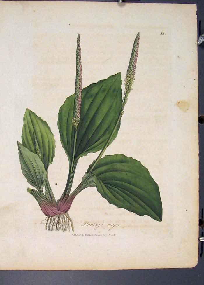 [Print Plantago Major Flora Fauna Flower Colour 575681 Old Original]