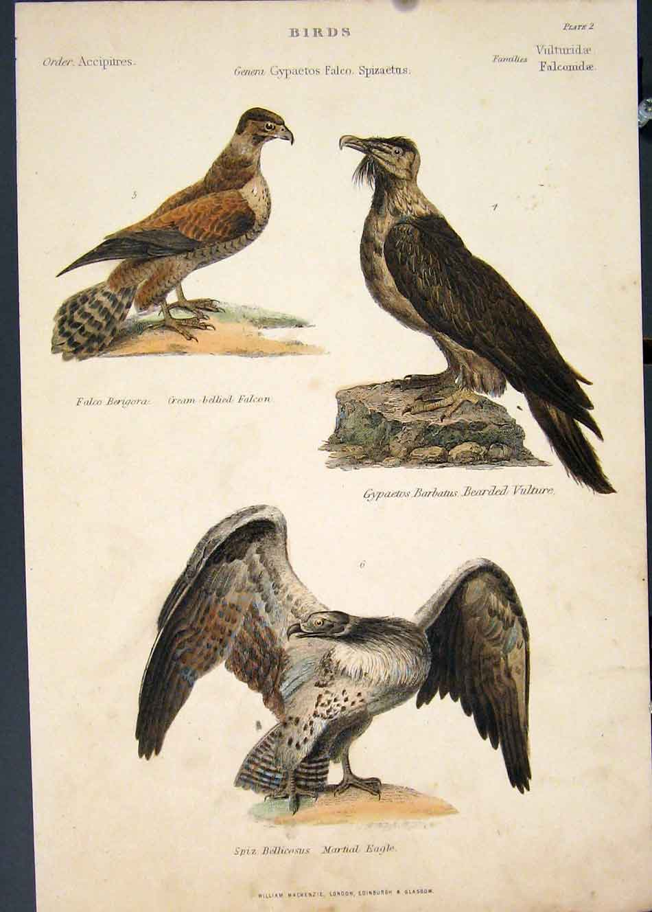 [Print Falcon Vulture Eagle Hand Colour C1860 275851 Old Original]