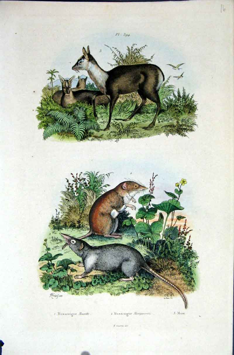 [Print 1839 H/C Natural History *394 Deer & Rodents 425881 Old Original]