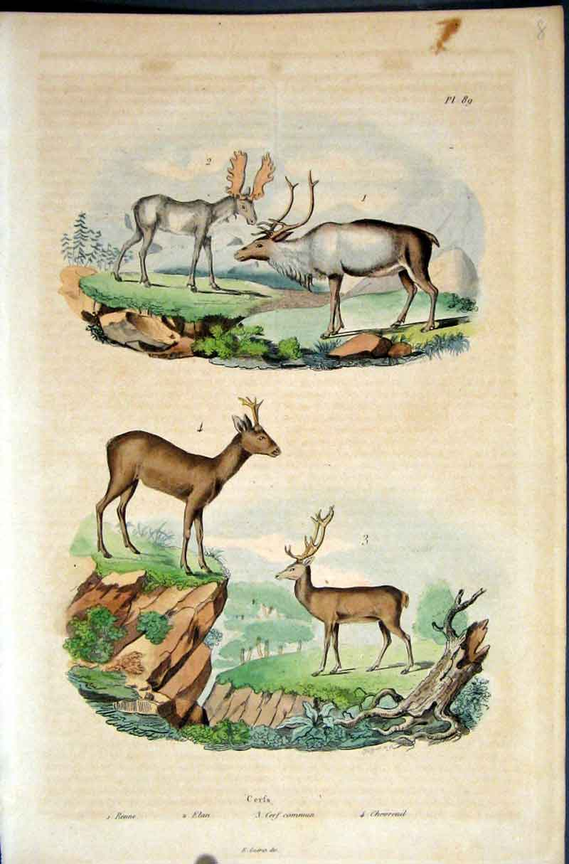 [Print 1839 H/C Natural History *089 Three Types Deer 505881 Old Original]