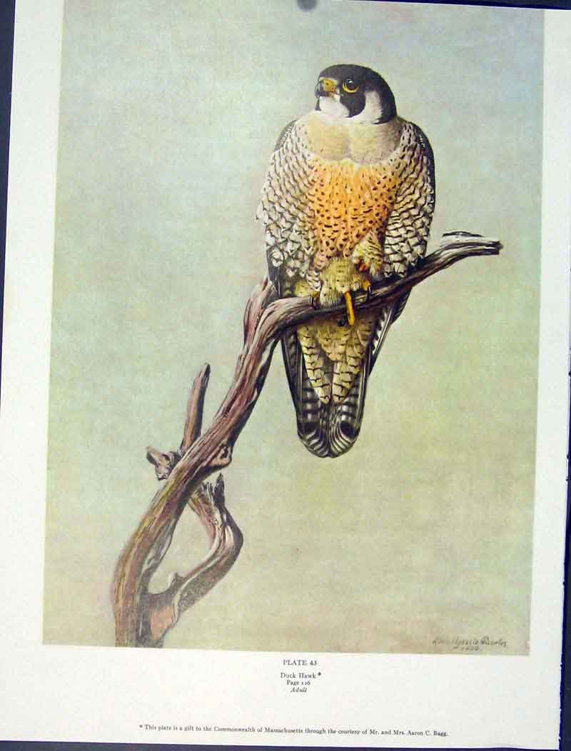 [Print Color Birds Duck Hawk Adult Fine Art C1939 435941 Old Original]