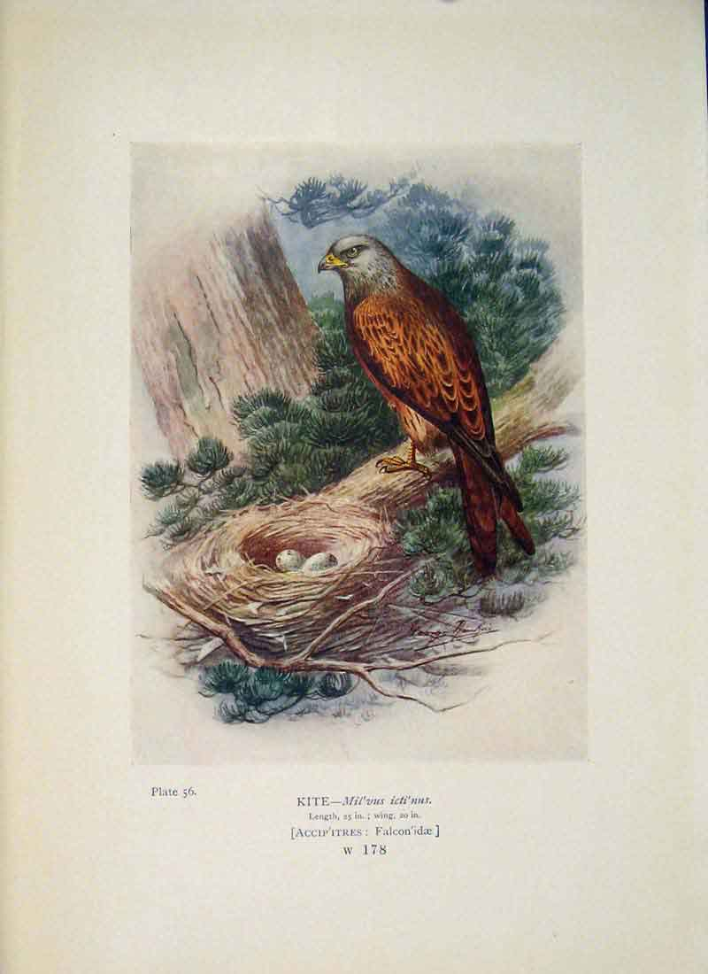 [Print Kite Falcon Colour Bird Egg Fine Art 565951 Old Original]