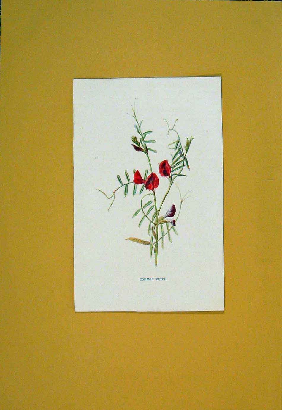 Print Vetch Flower Flowers Plant Plants C1894 966011 Old Original