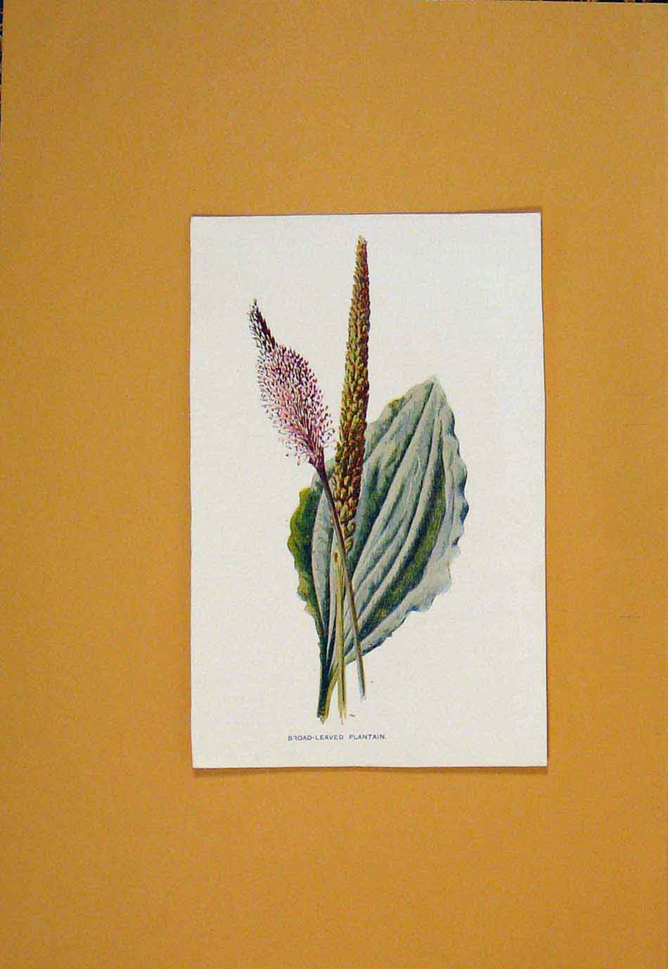 Print Plantain Flower Flowers Plant Plants C1894 986011 Old Original