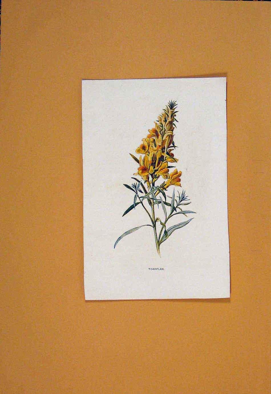 Print Toadflax Flower Flowers Plant Plants C1894 046011 Old Original