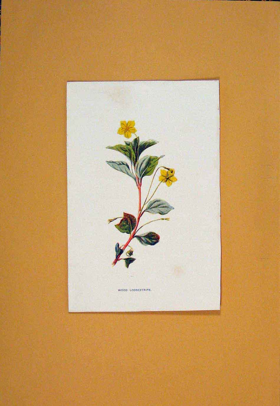 Print Wood Loosestrife Flower Flowers Plant Plants C1894 146011 Old Original