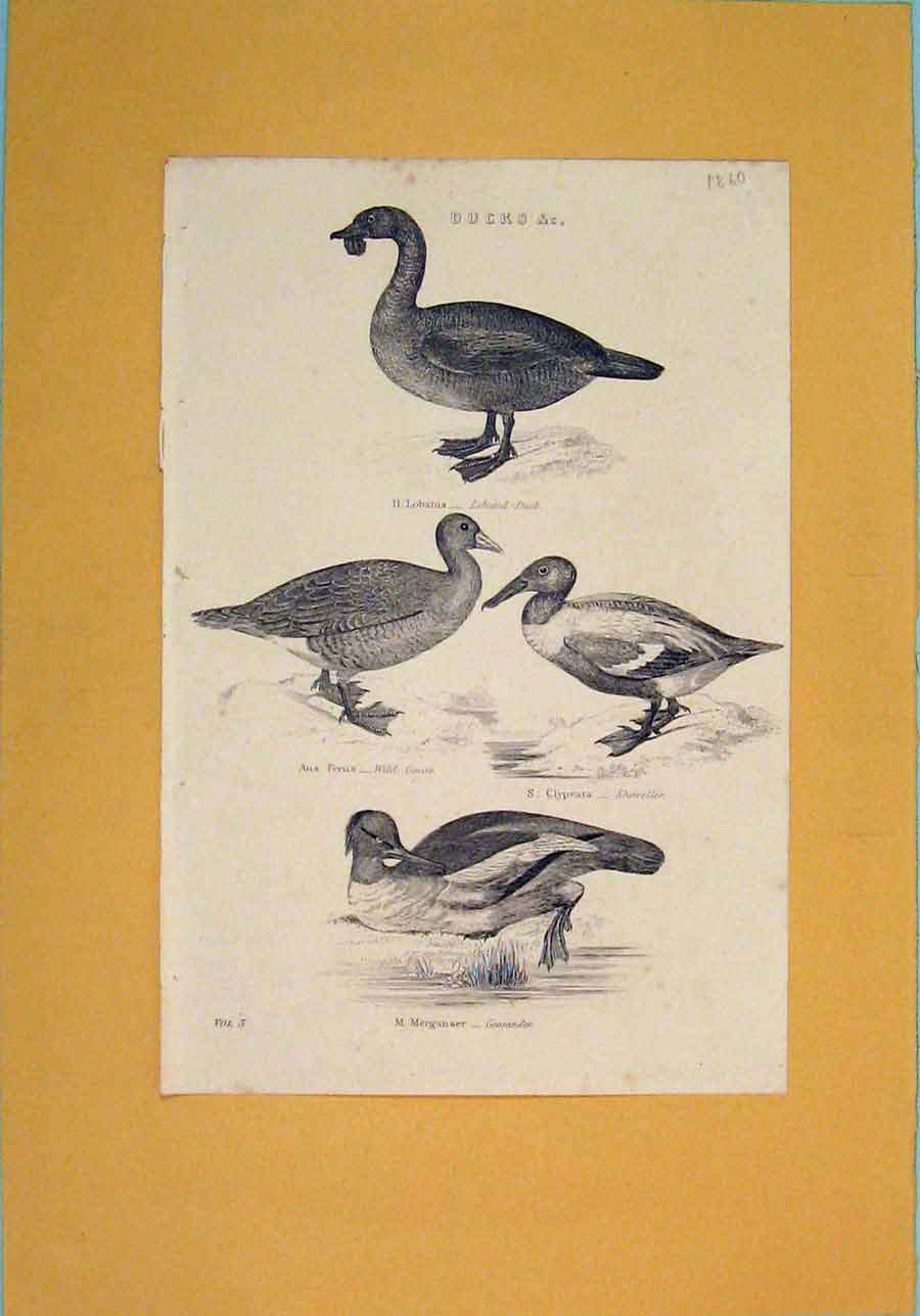 Print Duck Birds Lobated Wild Goose Shoveller 016081 Old Original