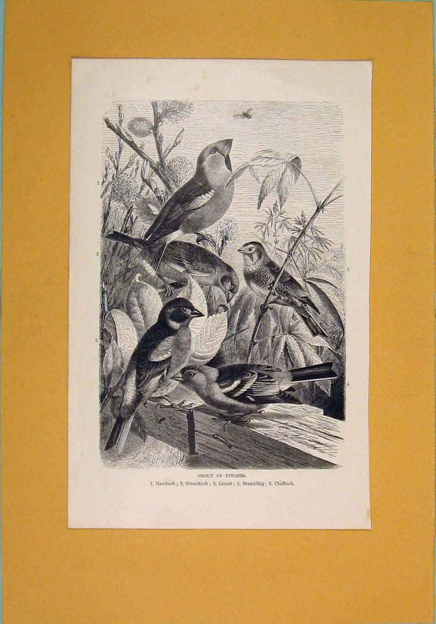 Print Groupd Finches Hawfinch Greenfinch Birds 1860 026081 Old Original