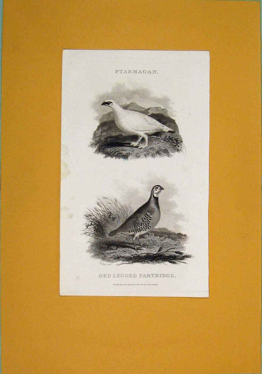 Print C1801 Ptarmagan Red Legged Partridge Birds 226081 Old Original