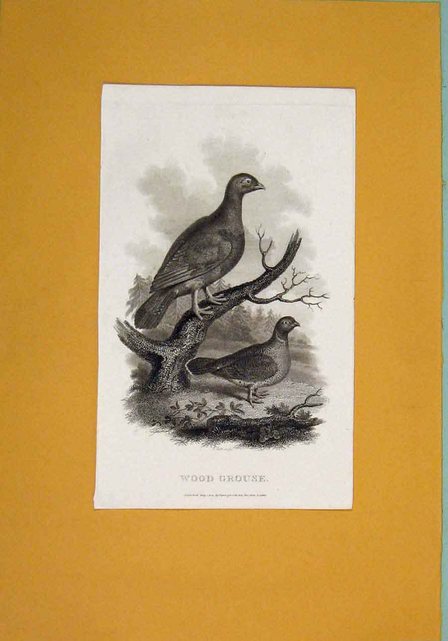 Print C1802 Wood Grouse Birds Fine Art Animals 256081 Old Original