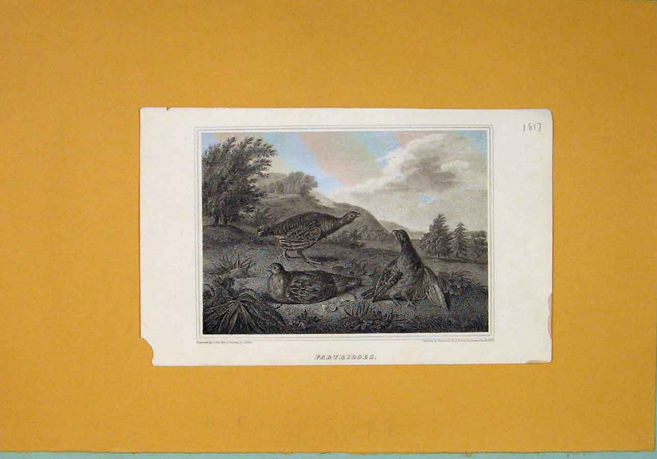 Print C1817 Partridges Birds Fine Art 306081 Old Original