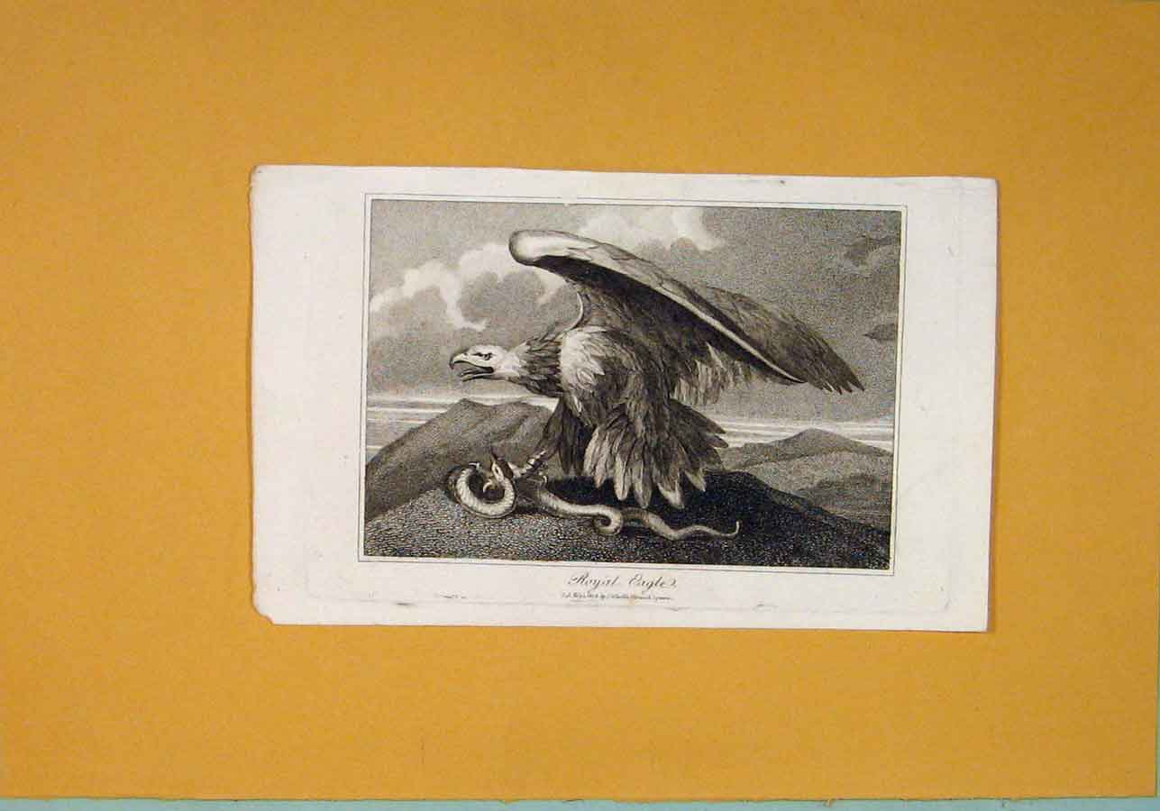 Print C1806 Royal Eagle Fine Art Birds 336081 Old Original