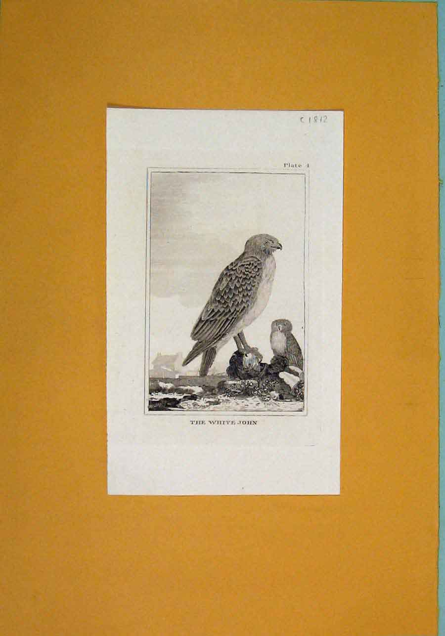 Print White John Birds Fine Art C1812 Animals 476081 Old Original