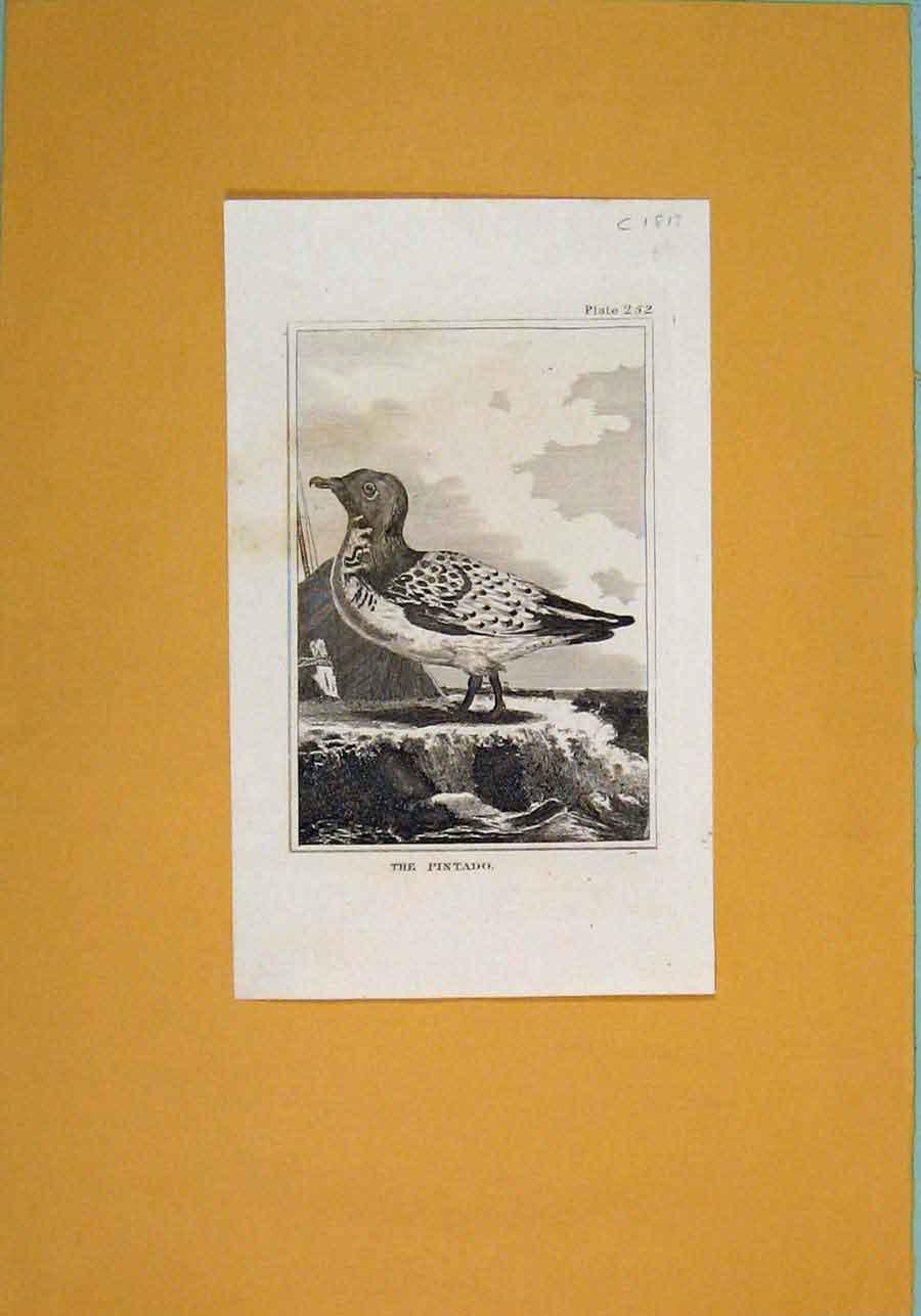 Print Wild Birds Fine Art Pintado C1812 716081 Old Original