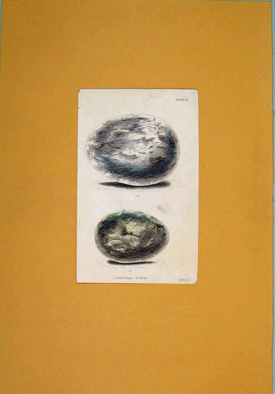 Print Hand Colored Wild Birds Eggs Art C1845 906081 Old Original