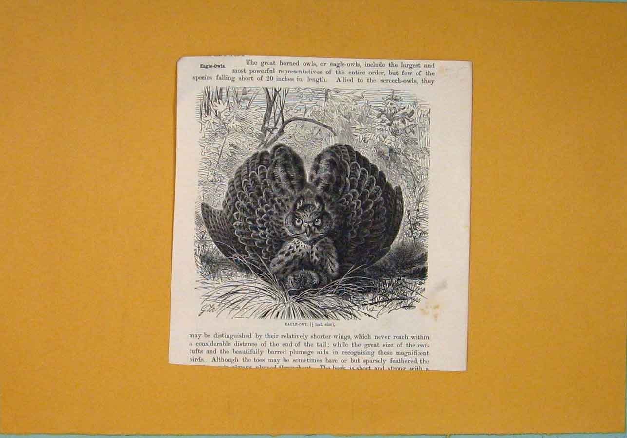 Print Eagle Owl Birds Feathers Fine Art Wings 946081 Old Original