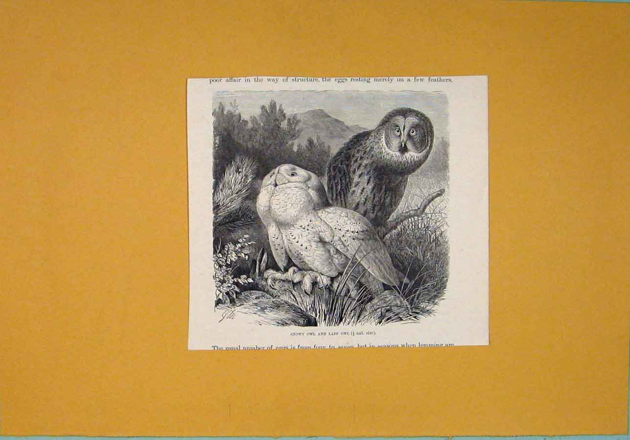 Print Snowy Owl Lapp Birds C1812 Fine Art 996081 Old Original