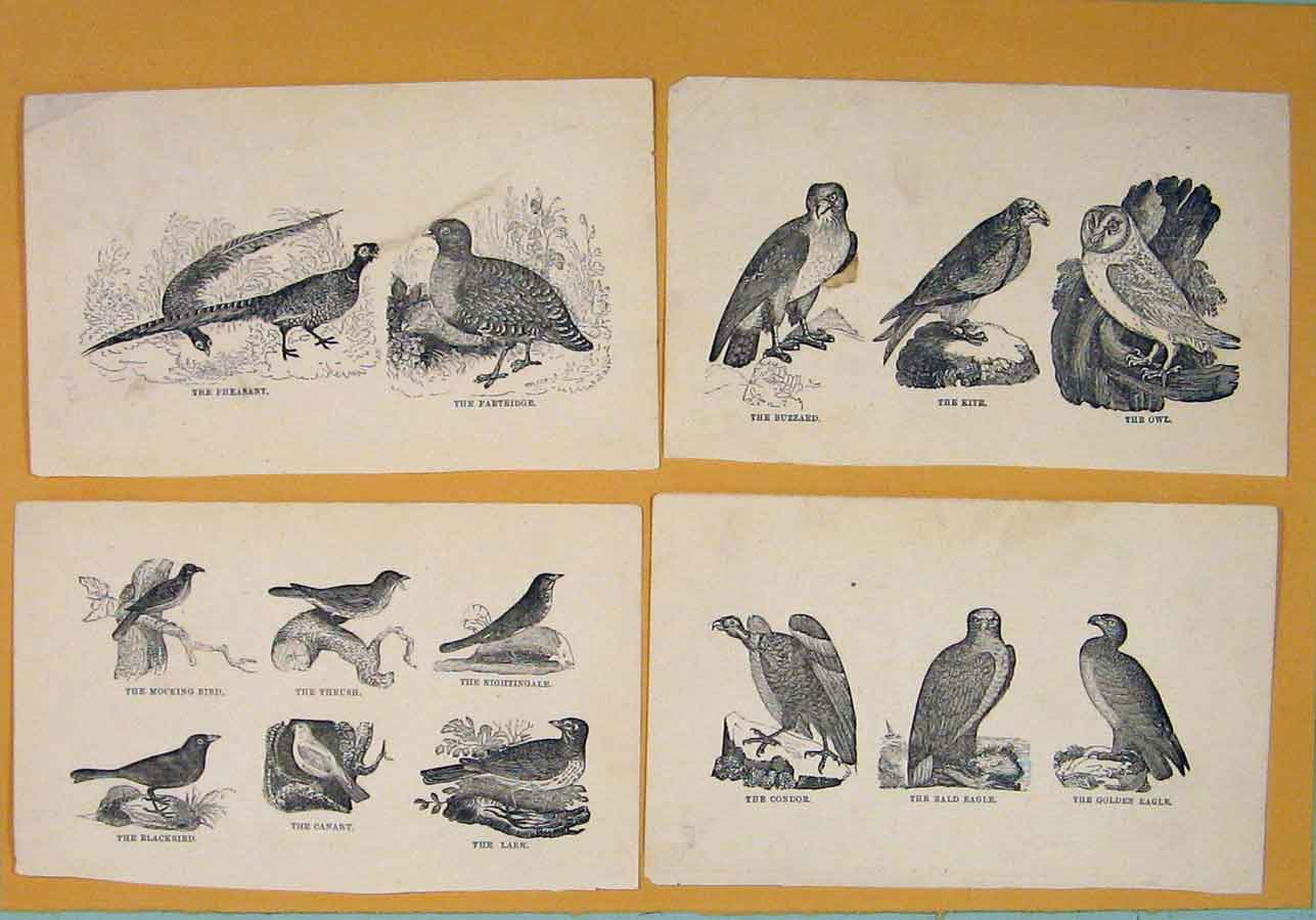 Print C1881 Birds Mocking Thrush Nightingale Lark Canary Art 256081 Old Original