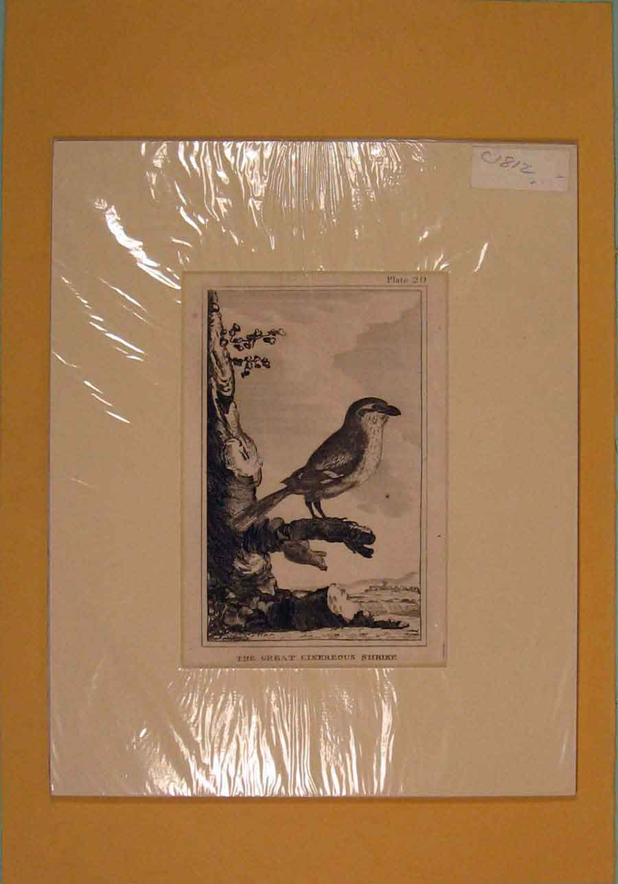 Print C1812 Great Cinereous Shrike Perched Birds 346081 Old Original