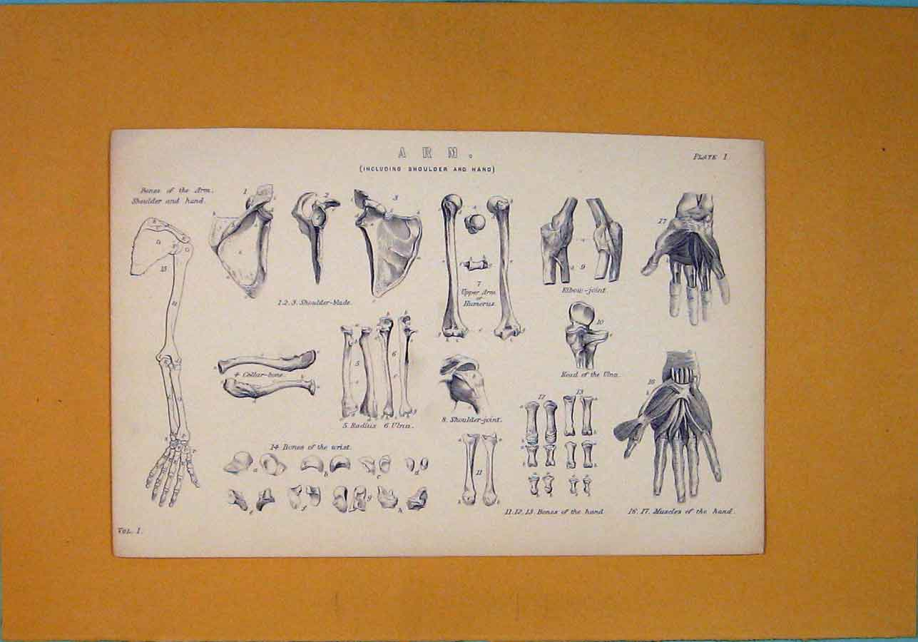Print Arm Bone Structure Joints Muscle C1870 136091 Old Original