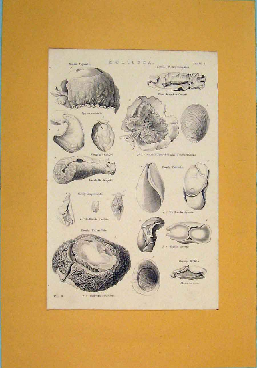 Print Mollusca Worm Shell Snail Small Creature 946091 Old Original