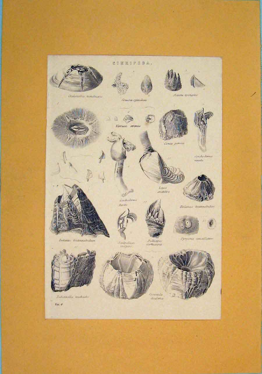 [Print Cirripeds Shell Ocean Sea Creature Insect Worm 546091 Old Original]