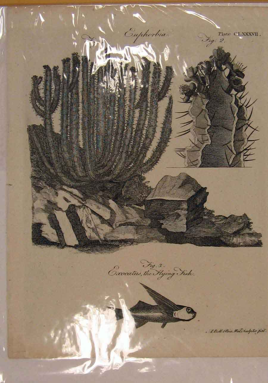Print Flying Fish Catus Plant Fine Art C1790 Ol 036151 Old Original