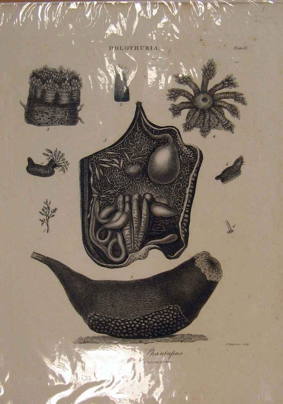 Print Holothura Phantapus Plants Ocean Sea C1806 056151 Old Original