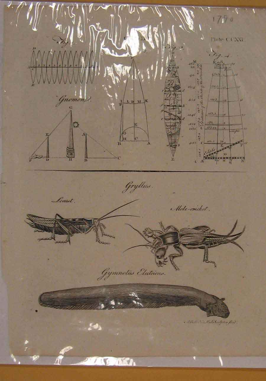 Print Globe Cricket Locust Electic Eal Animal Insect Art 1790 076151 Old Original