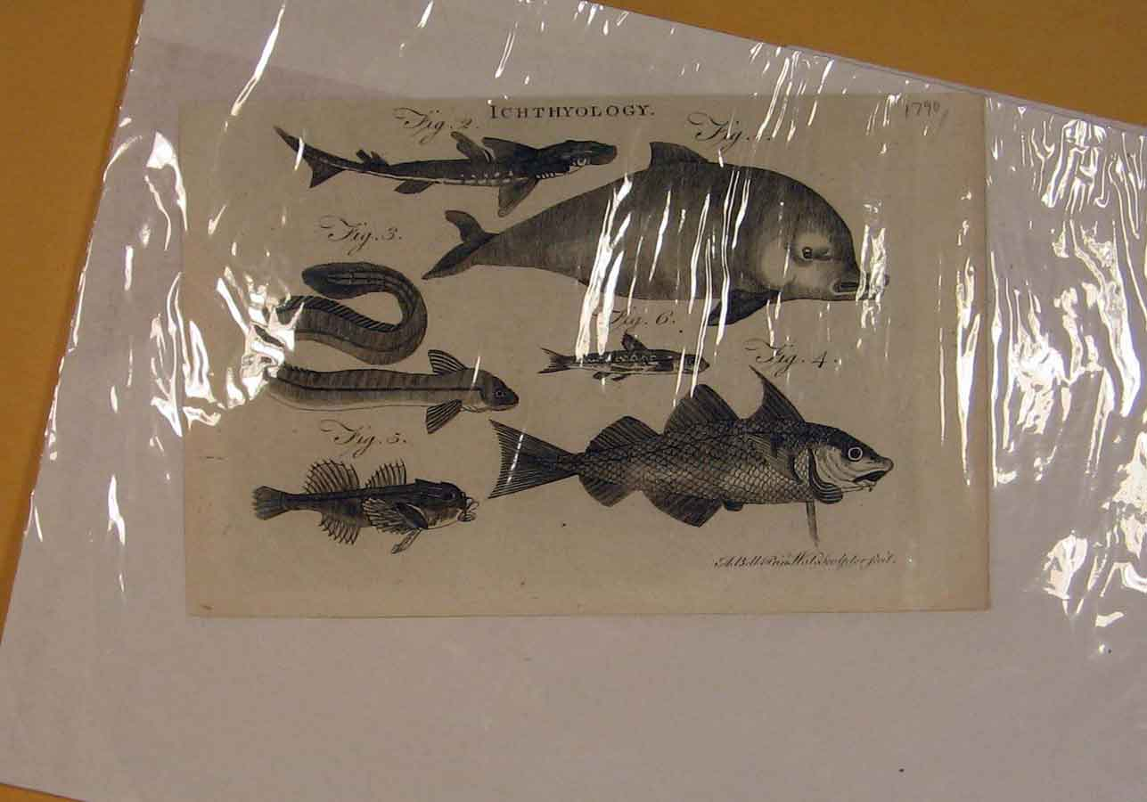 Print Icthyology Dolphin Eel Fish Ocean Sea Animal 1790 186151 Old Original