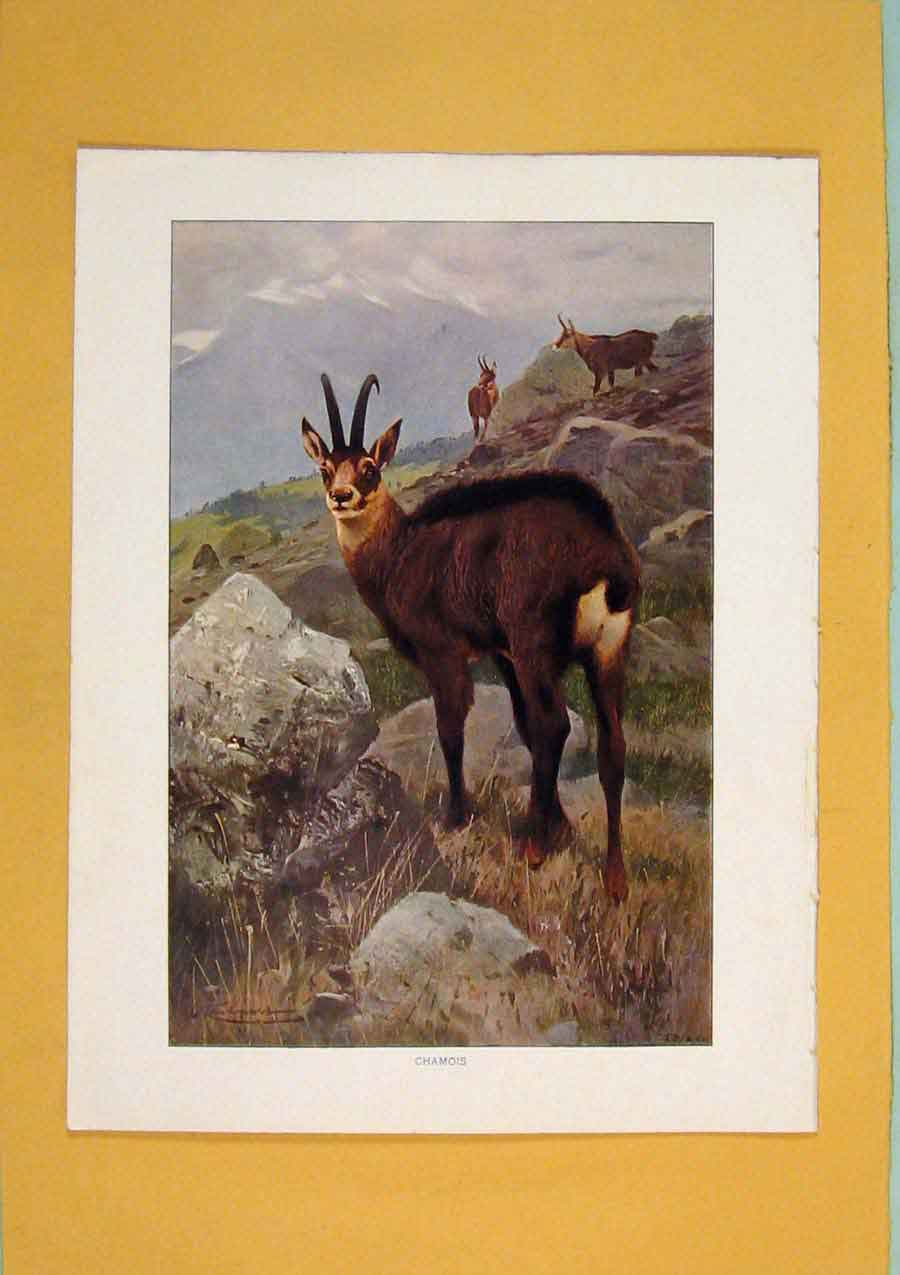 Print Chamois Color Buck Wild Animal Fine Art 016311 Old Original