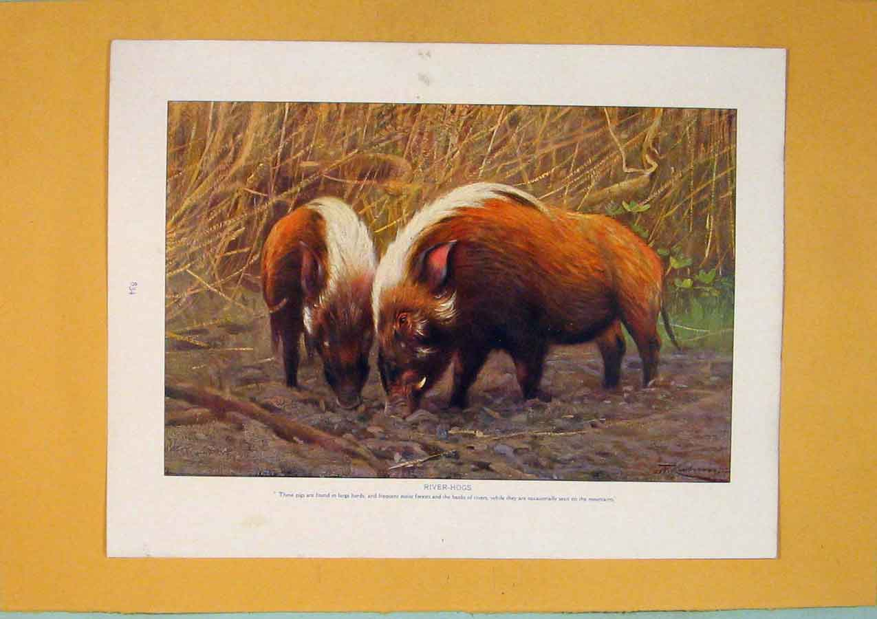 Print Wathog River Hog Pig Wild Animal Fine Art 086311 Old Original