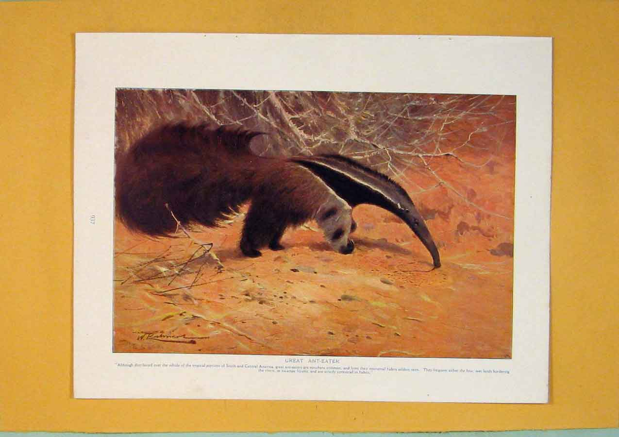 Print Great Ant Eater America Color Fine Art 136311 Old Original