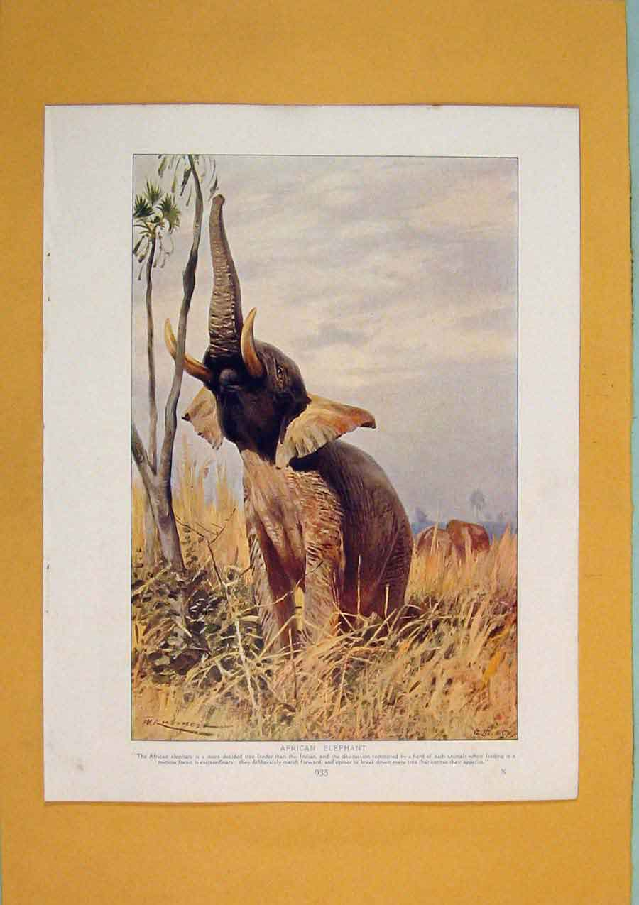Print Wild African Elephant Color Fine Art 1910 146311 Old Original