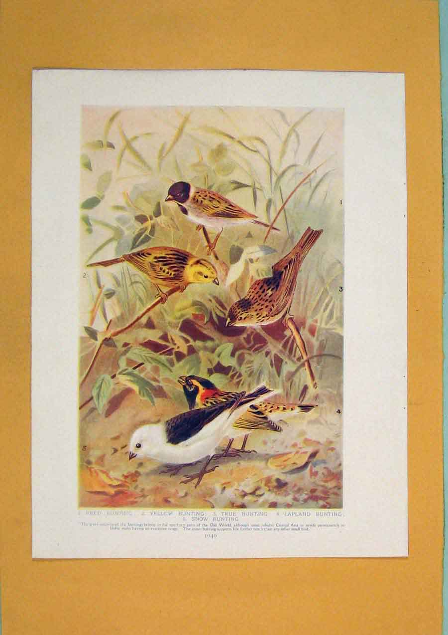 Print Reed Bunting Lapland Snow Bird Fine Art Color 186311 Old Original