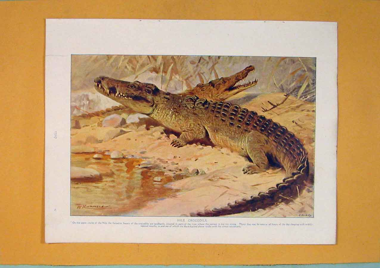 [Print Nile Crocodile Color Fine Art 1910 Animal 326311 Old Original]