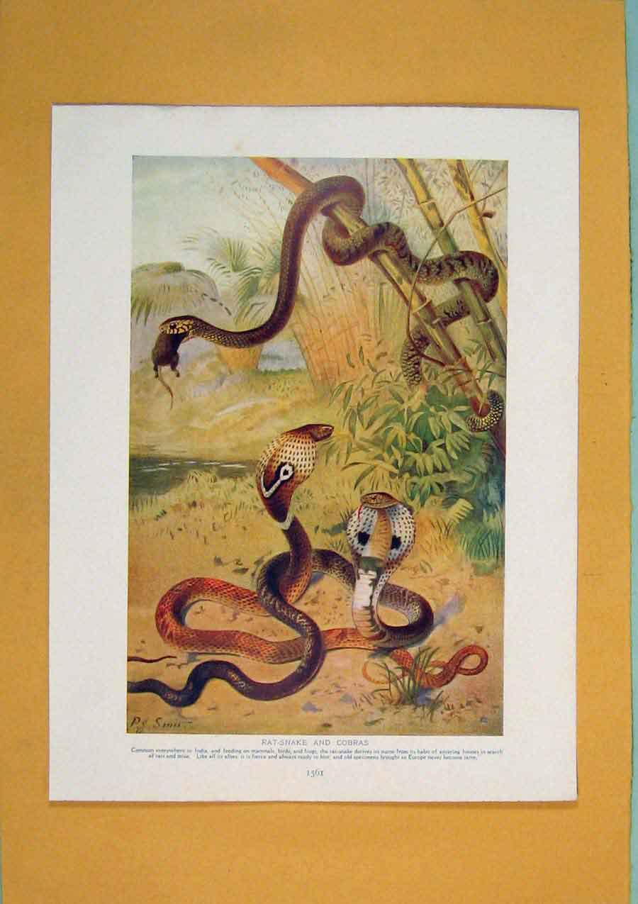 Print Rat Snake Cobra Color Wild Animal Art 376311 Old Original
