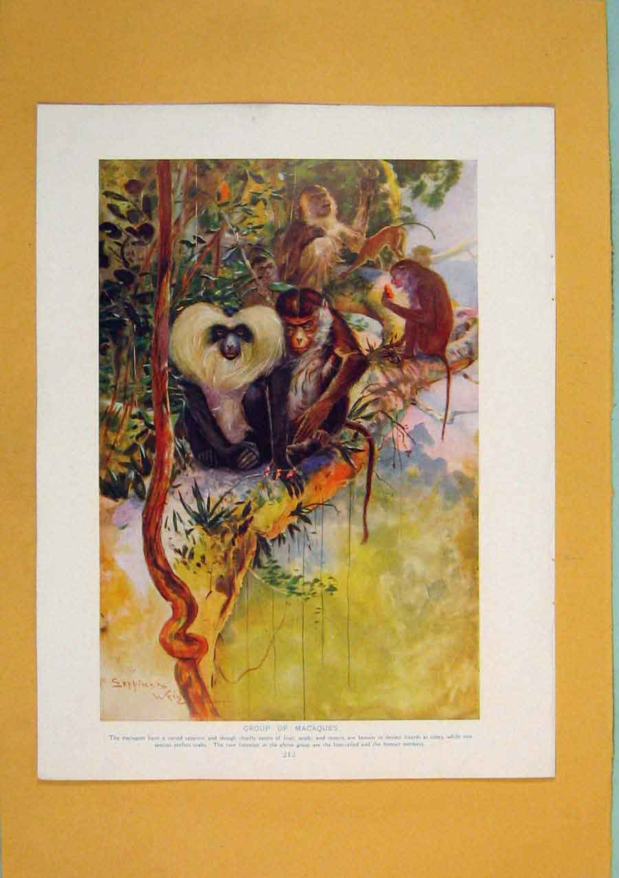 Print Group Macaques Monkeys Color Fine Art 586311 Old Original