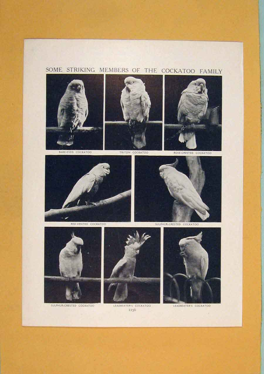 Print Spotted Tawny Monkey Eating Harpy Eagle 776311 Old Original