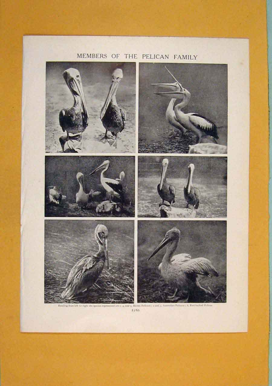 Print Members Pelican Family Black White Antiue Art 806311 Old Original