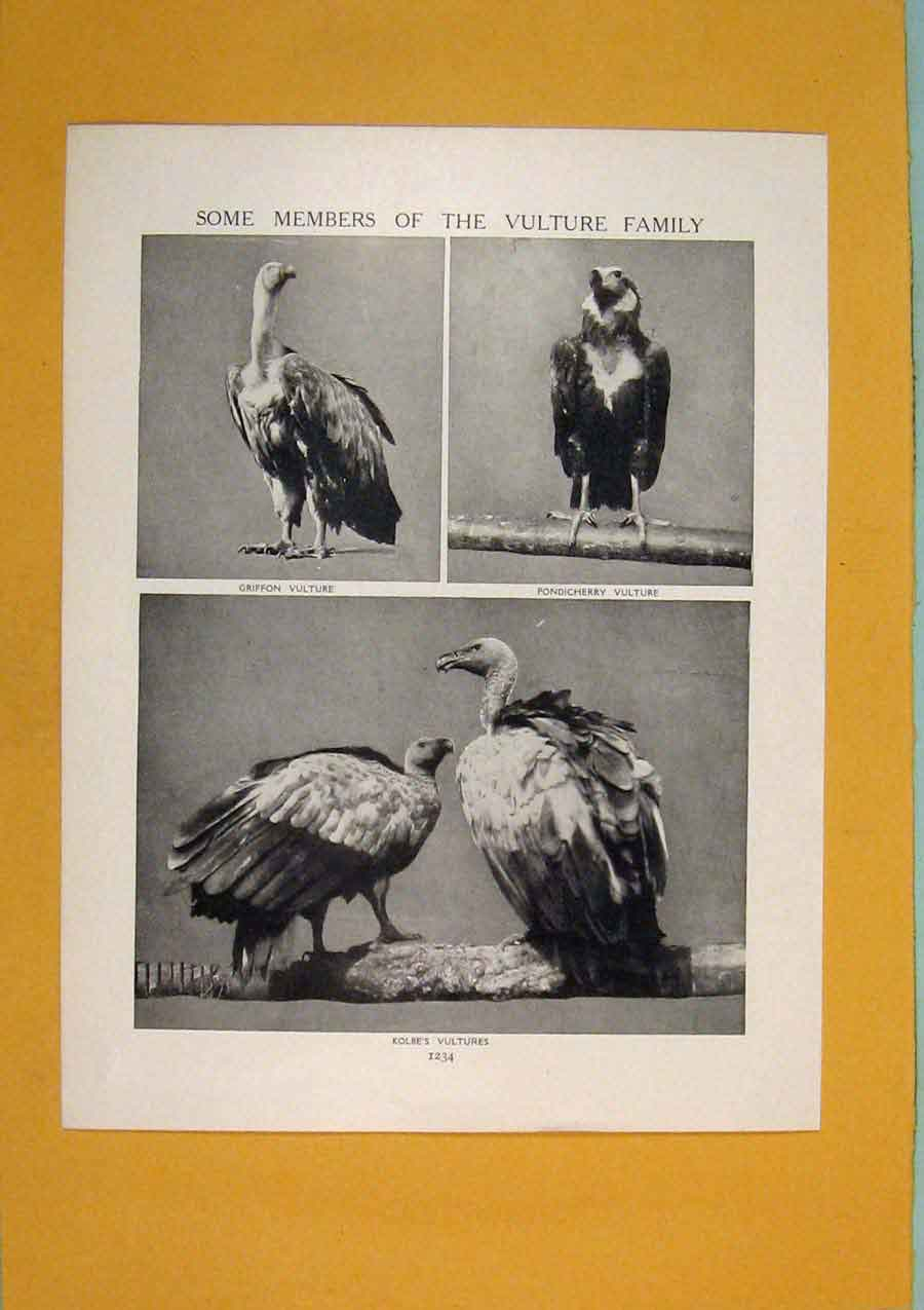 Print Members Vulture Family Bird Fine Art 1910 816311 Old Original