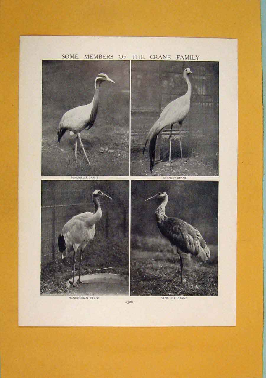 Print Members Crane Family Bird Fine Art C1910 836311 Old Original