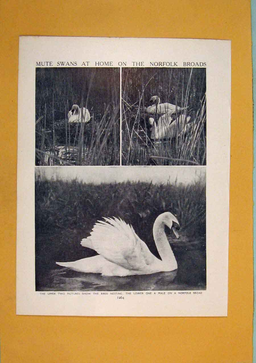 Print Mute Swans Norfolk Bird Fine Black White 846311 Old Original