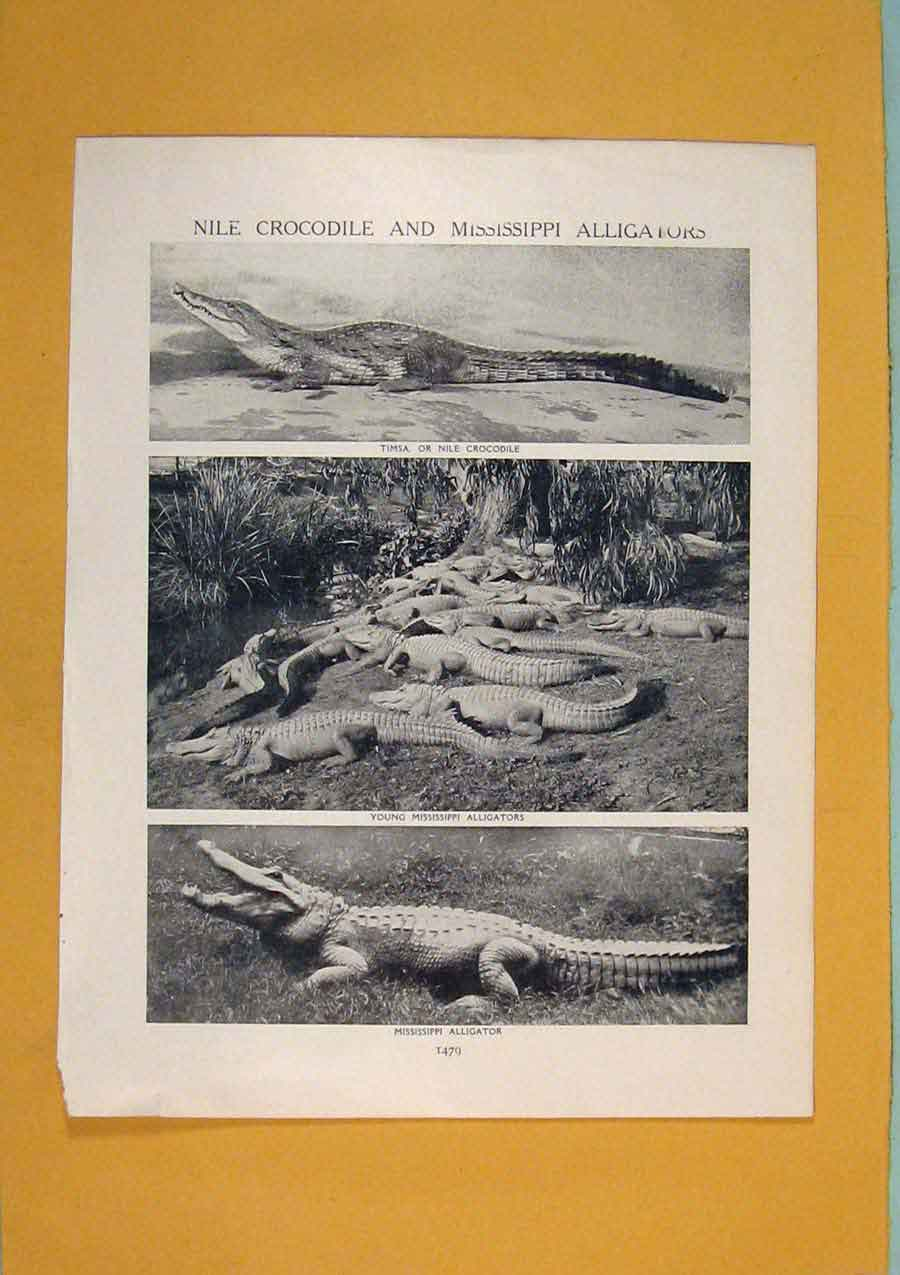 [Print Nile Crocodile Mississippi Alligators Art 856311 Old Original]