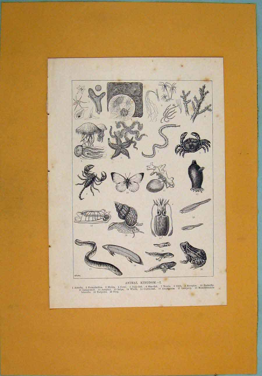 Print Animal Animals Fish Crab Butterfly Frog Starfish 186341 Old Original